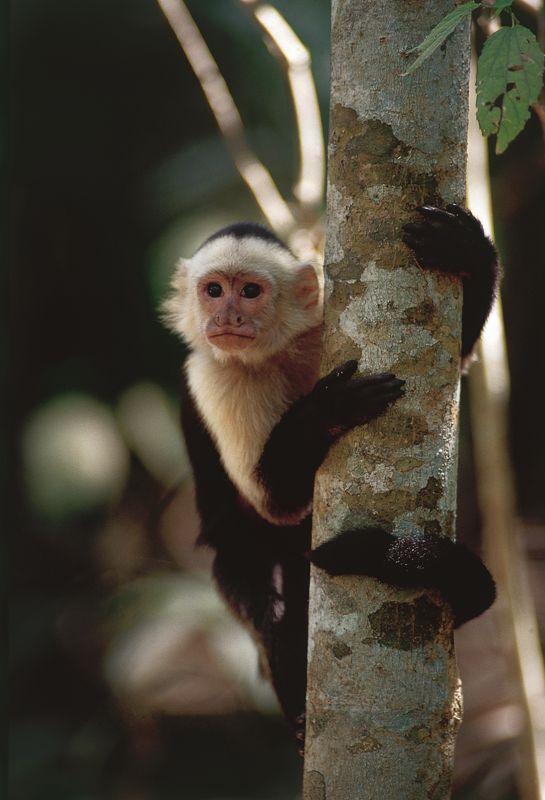 Les singes Capucins peuplent les forêts du Costa Rica. DR ICT.