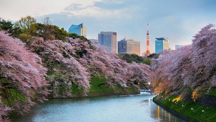 La majorité des clients veut partir en mars-avril à Kyoto, pour voir les cerisiers en fleurs - DR : JTB