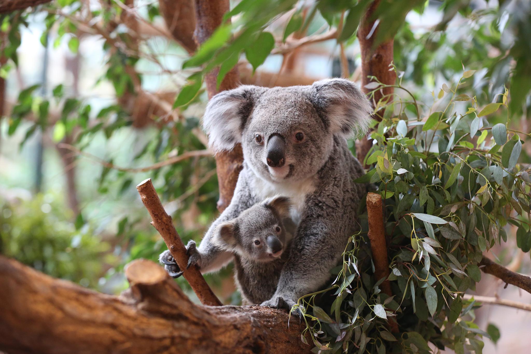 Animaux très fragiles, les koalas se nourrissent exclusivement des feuilles les plus tendres d'eucalyptus de variétés différentes selon leurs goûts. Une partie est cultivée à Beauval, une autre est importée d'Angleterre. Le régime alimentaire des koalas est le plus coûteux du Zoo Parc ! - DR : ZP Beauval