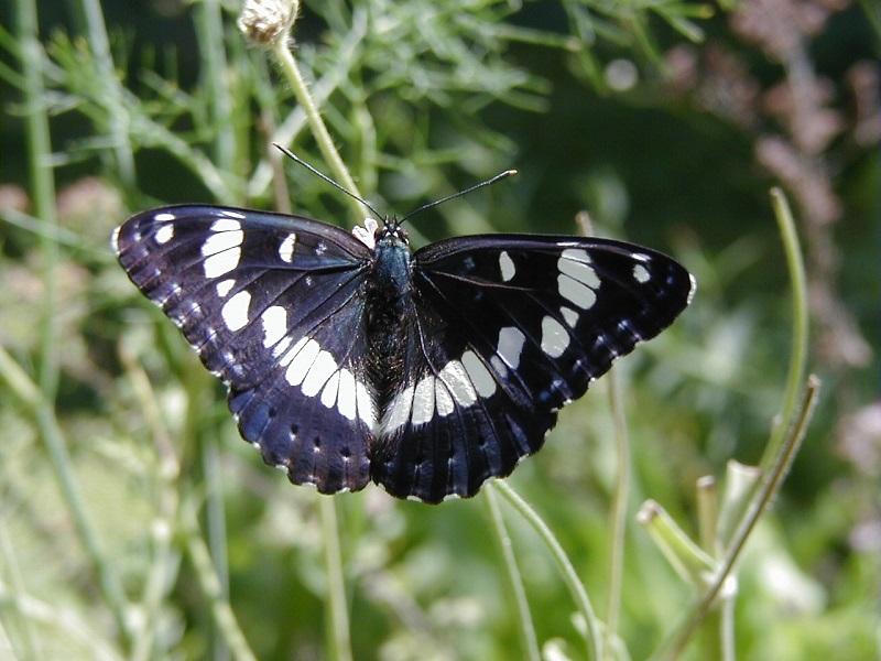 Depuis 2002, le jardin est ouvert au public, afin de sensibiliser les visiteurs à la fragilité du papillon - DR : Nicolas Maurel