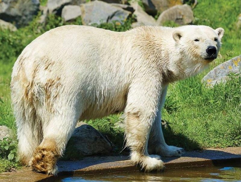 Le zoo de Cerza accueille deux ours polaires