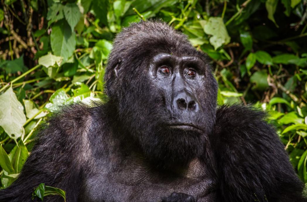 Nouveauté cette année, le Rwanda et ses gorilles de montagne. - V. Fonvieille