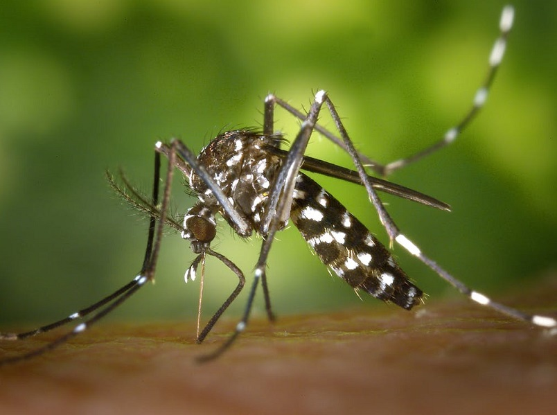 Le moustique tigre est responsable de la transmission du chikungunya - copyright : pixabay / CC0 License