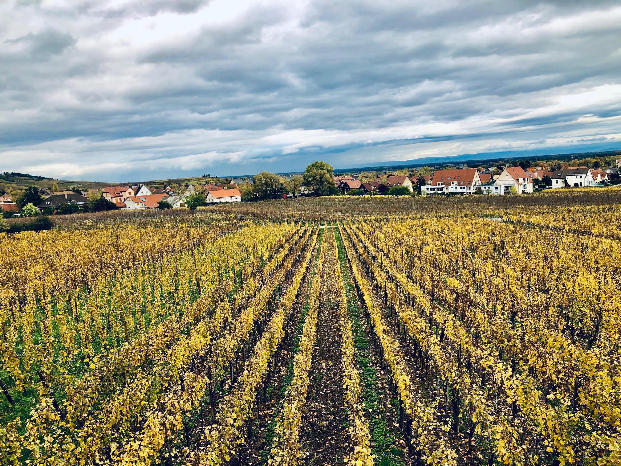Vue imprenable sur les vignes et dégustation des meilleurs crus alsaciens dans la cave Bott /crédit photo JDL