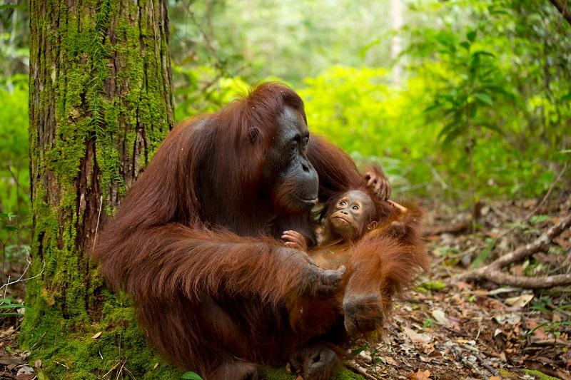 Malaysia - Borneo - Une mère Orang-outan et son bébé - Photo Exo Travel