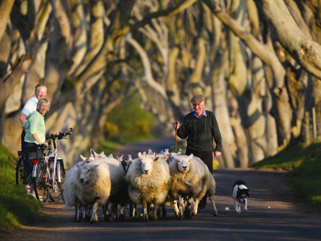 The Dark Hedges, Ballymoney Co. Antrim Irlande du Nord - Copyright Tourisme