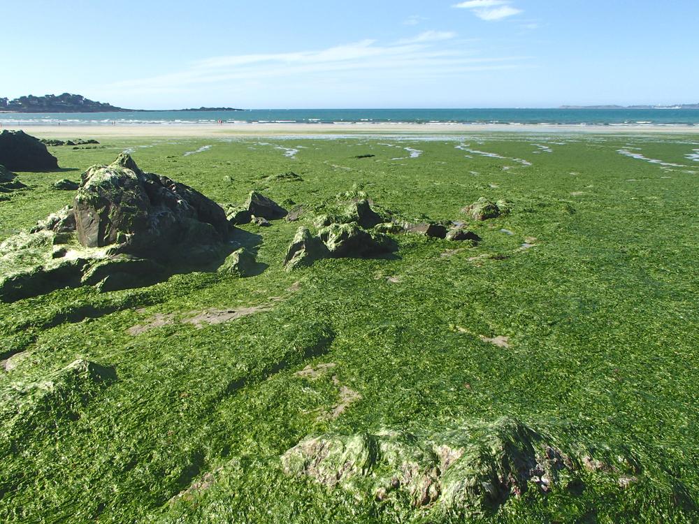 C'est en Finistère que se trouve le plus grand champ d'algues du monde... /crédit DepositPhoto