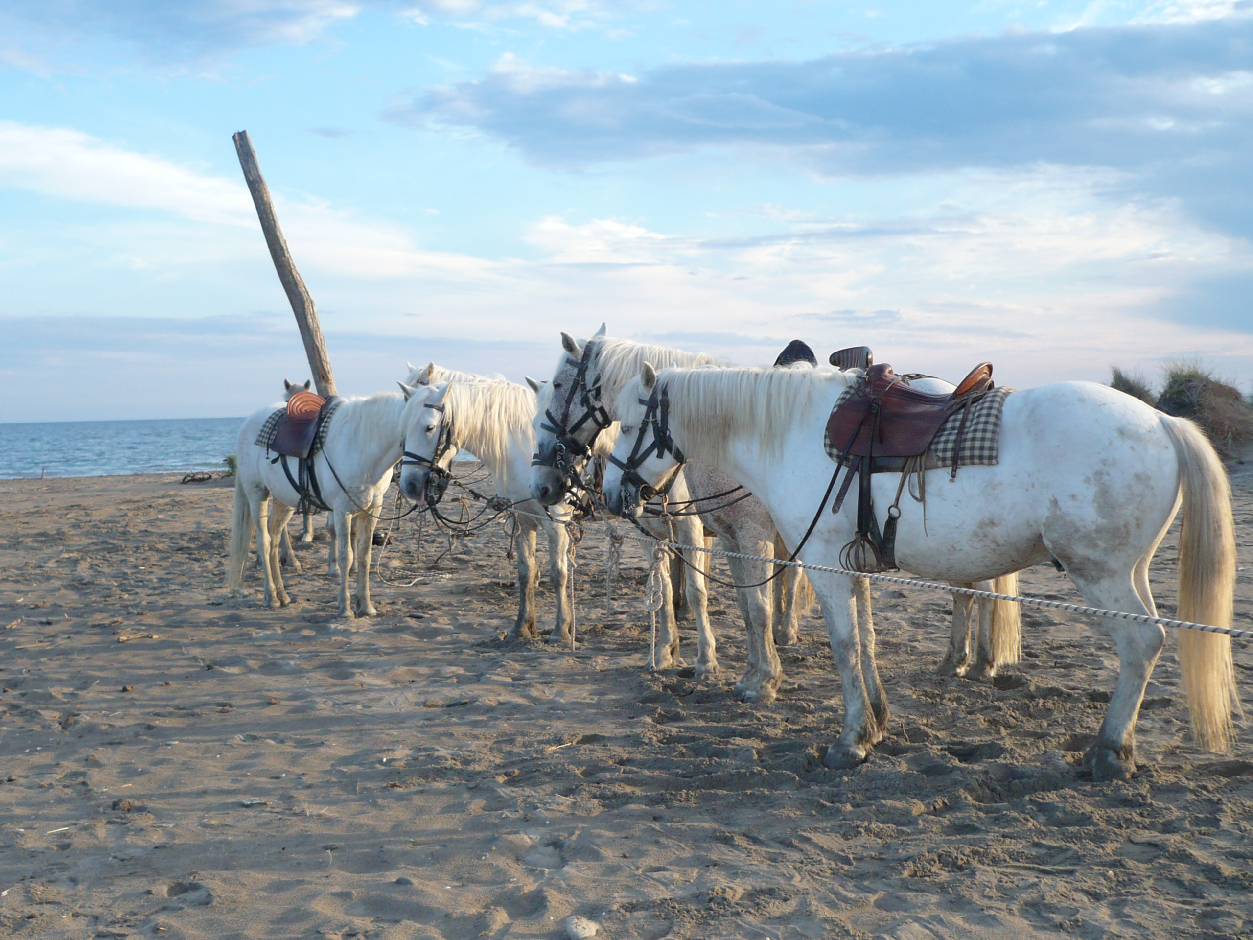 Les chevaux blancs de Camargue - DR : Raynaud M - CRT PACA