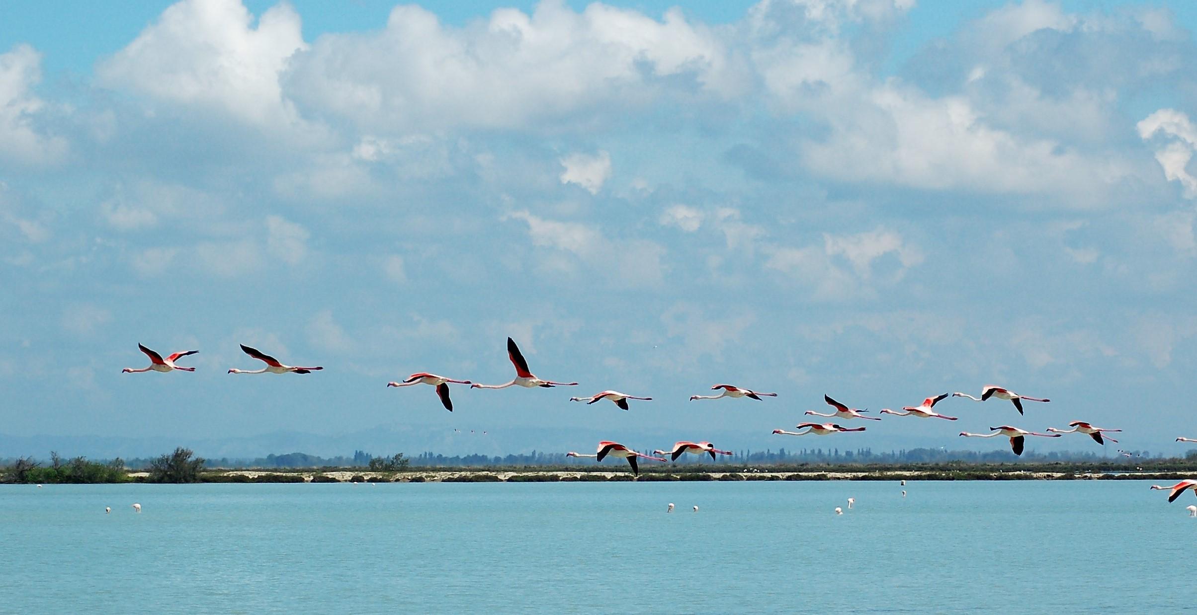 Vols de flamants roses en Camargue - DR : Y. LeMagadure, CRT PACA