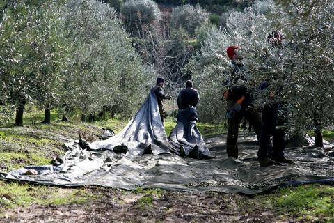 Récolte des oliviers à la Londe-les-Maures. VisitVar.