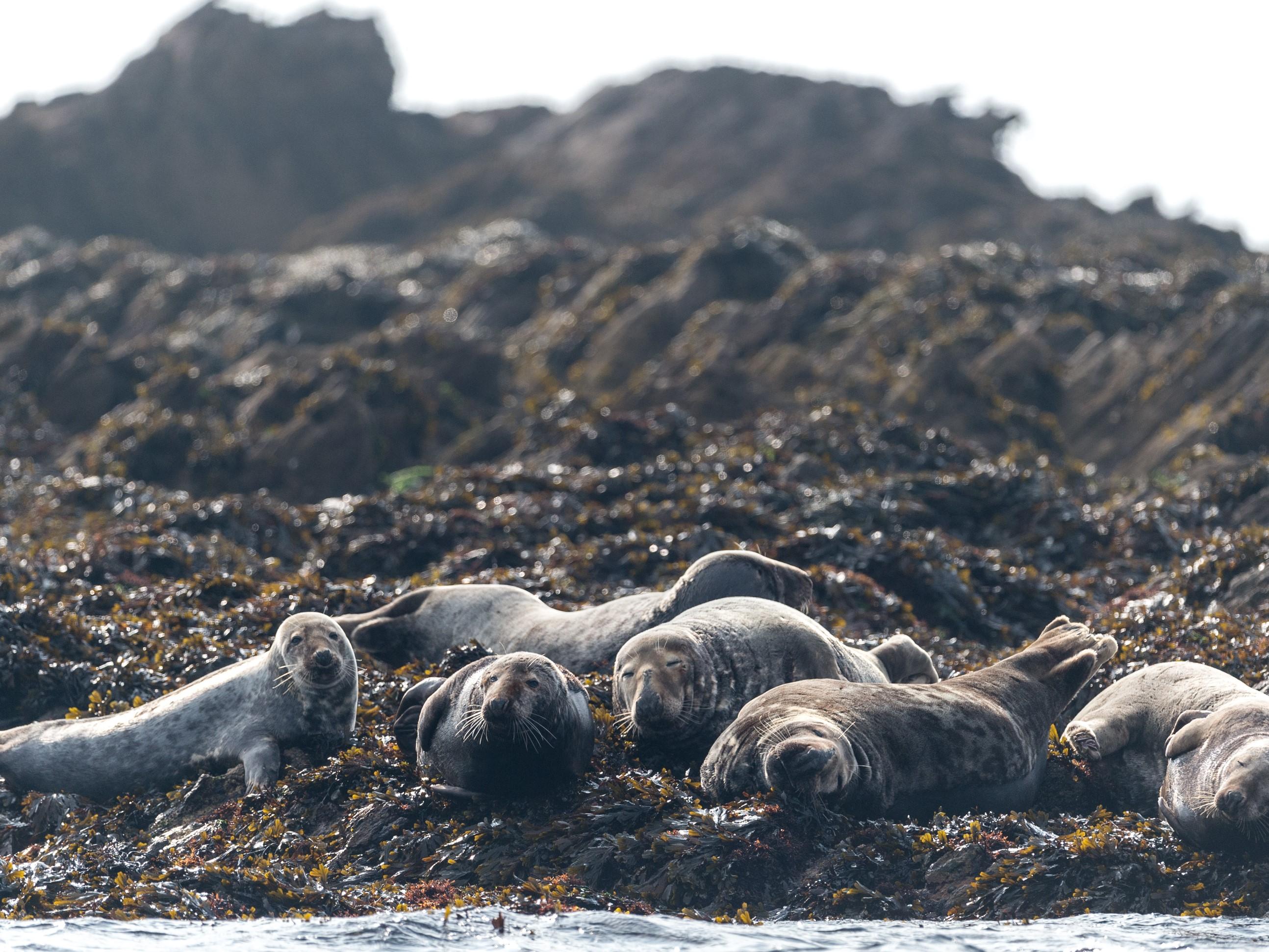 Le phoque gris est à l'aise dans les eaux d'Iroise. Si l'effectif est à son pic l'hiver pour la mue, on peut l'observer toute l'année - DR