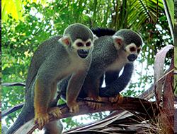 AGAMIS / Saïmiris appelés aussi singes écureuils sur l'île Royale