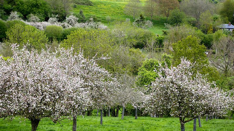 © Wondershoot - les pommiers en fleurs - Normandie
