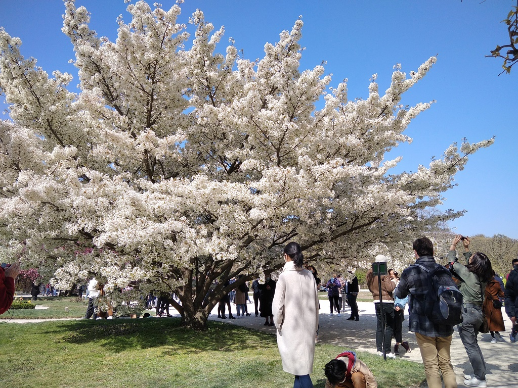 Un cerisier du Japon au Jardin des plantes à Paris, attire des milliers de visiteurs tous les jours - Photo JS