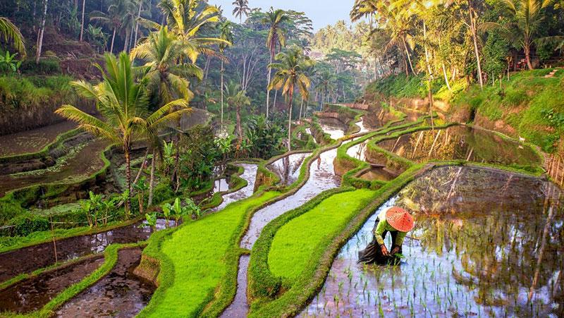 Travailleur dans les rizières de Tegallalang, Bali, Indonésie © Sakdawut14