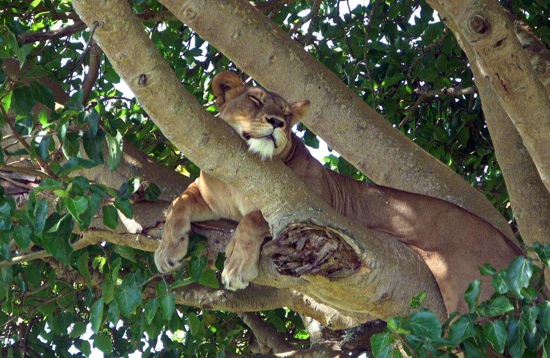 """Dans le secteur d'Ishasha, les lions """"poussent"""" dans les arbres et s'y prélassent /crédit photo CM"""