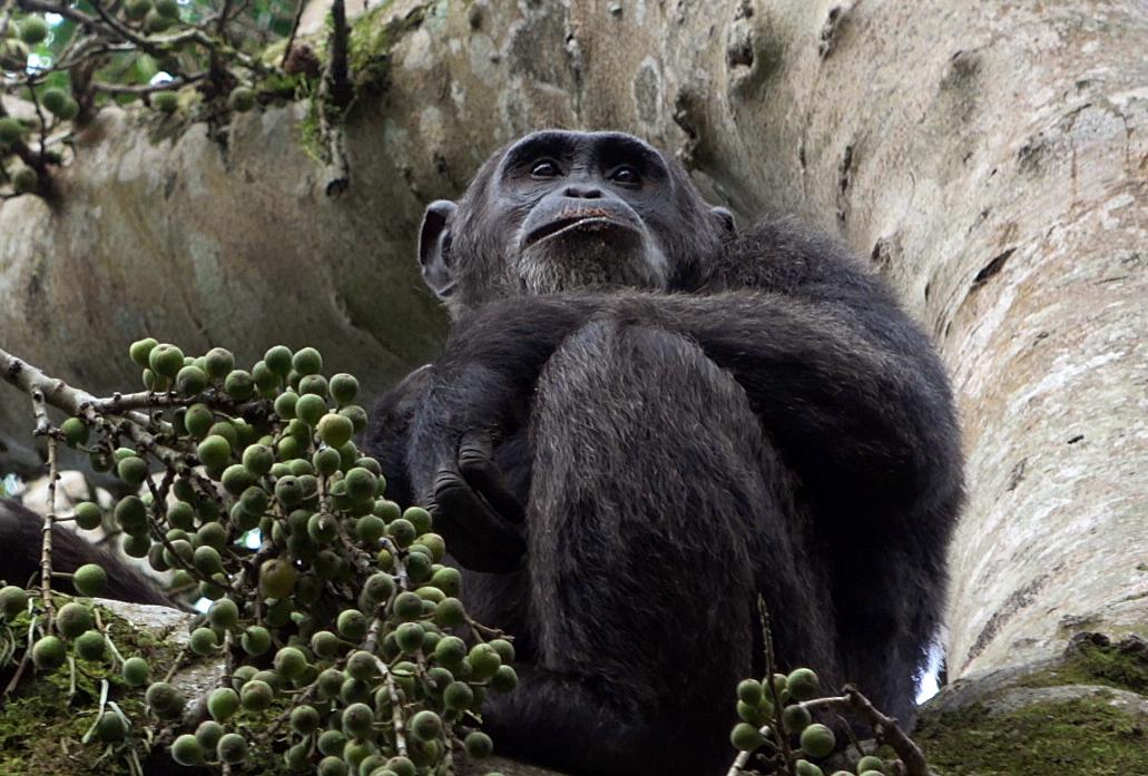 C'est dans cet endroit où les arbres semblent monter au ciel que nous faisons notre rencontre du 3e type avec ces primates avec qui nous partageons plus de 98% de nos gênes. /crédit CM