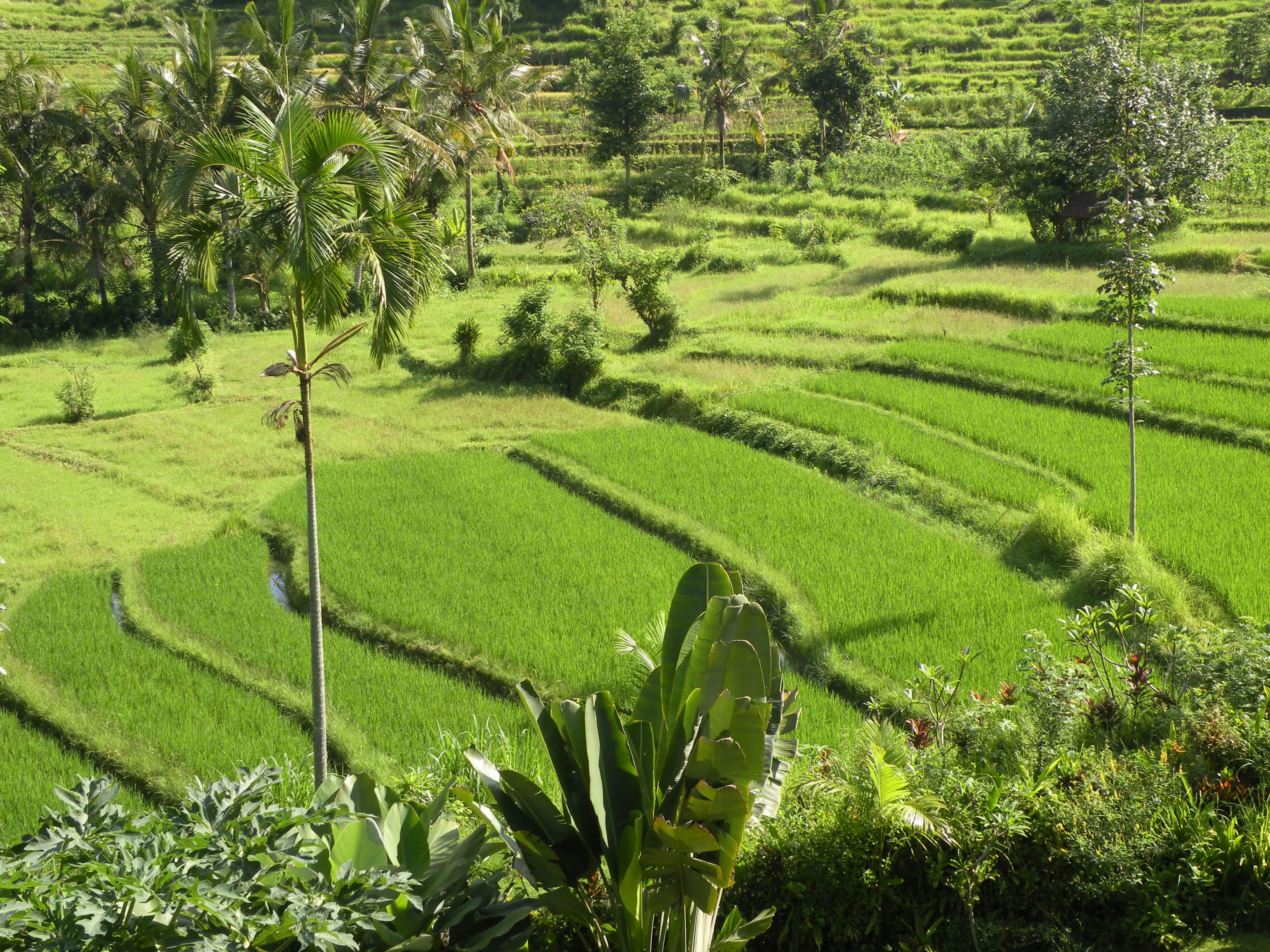 Les rizières, émeraudes de Bali…  - Photo CP