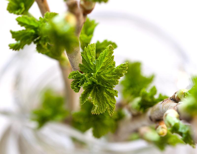 Du terme latin gemme, qui signifie à la fois bourgeon et pierre précieuse, la gemmothérapie utilise exclusivement les tissus embryonnaires frais des plantes, arbres et arbustes, c'est-à-dire les bourgeons - DR : © natashamam35 - Fotolia.com