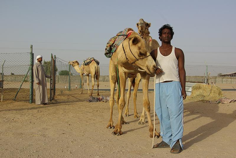 Organisées d'octobre à mars dans les Emirats mais aussi au Koweït, en Arabie Saoudite, au Qatar et à Oman, les courses de dromadaires suscitent une véritable passion - DR