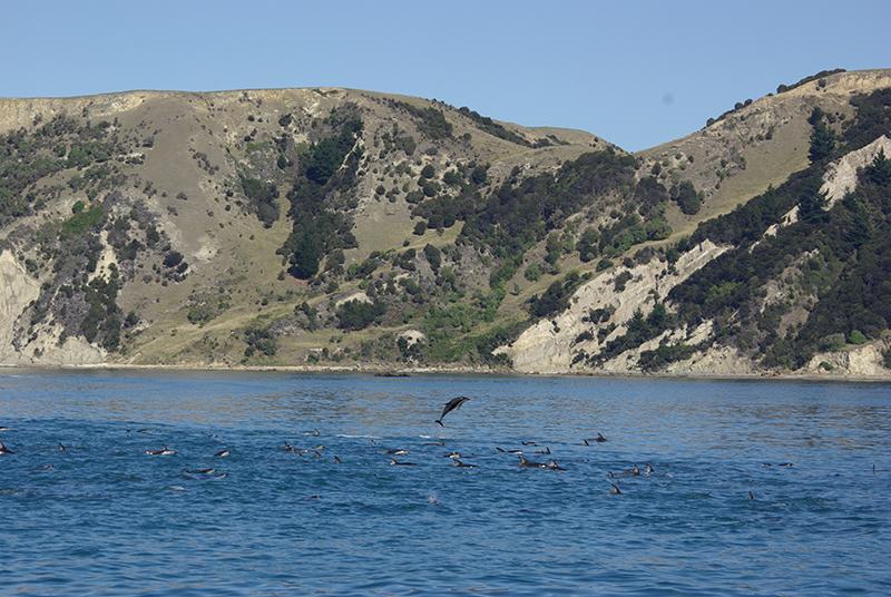 Au bord de l'océan Pacifique, dans l'île du Sud, Kaikoura abrite une colonie importante de cétacés et de dauphins. Un endroit formidable pour tous les amoureux de vie sauvage - DR