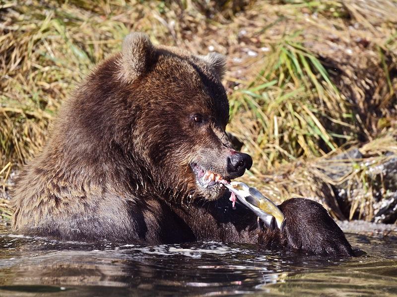 Sans saumons, pas d'ours… - Photo CP