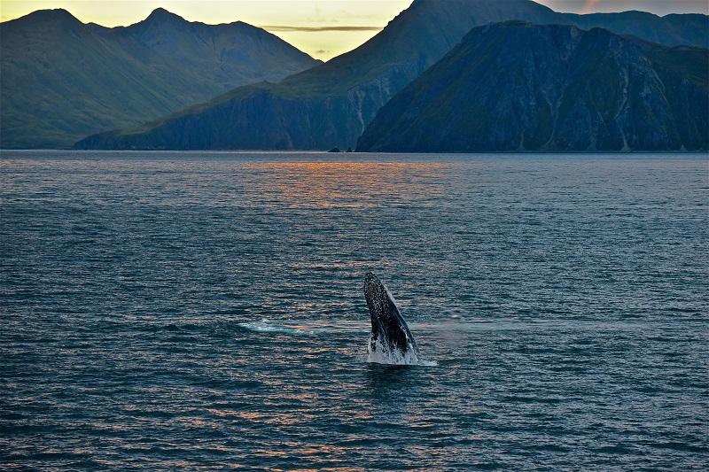 Baleine à bosse qui saute - Photo CP