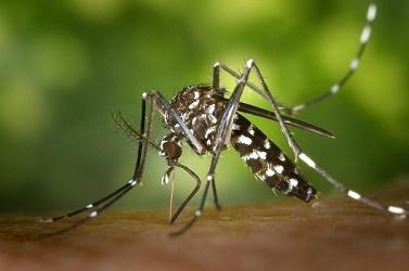 Le deuxième cas de virus Zika sur l'île de la Réunion est importé de la Martinique - Photo : Wikimedia Commons, James Gathany