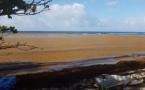 Antilles : l'invasion de sargasses (algues) porte un coup au tourisme