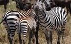 Longs-courriers : le spécialiste du safari chasse sur d'autres terres...