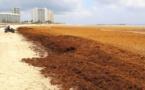 Caraïbes : l'industrie du tourisme s'organise pour lutter contre les algues sargasses