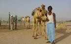 II. Dubaï : les dromadaires, passion émiratie