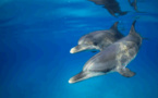 Costa Croisières collabore avec le CNR italien pour protéger les dauphins en Méditerranée