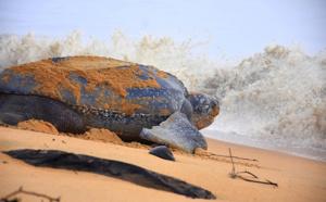 Guyane - Amazonie : À la rencontre des tortues marines !
