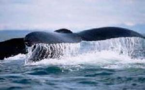 Chasse à la baleine : le tourisme islandais harponné