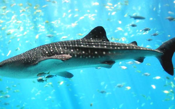Cancun (Mexique) : J'ai testé pour vous la nage avec les requins-baleines