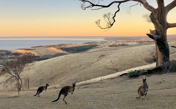 Tour du monde des réceptifs : après les incendies, les kangourous profitent d'une certaine accalmie en Australie