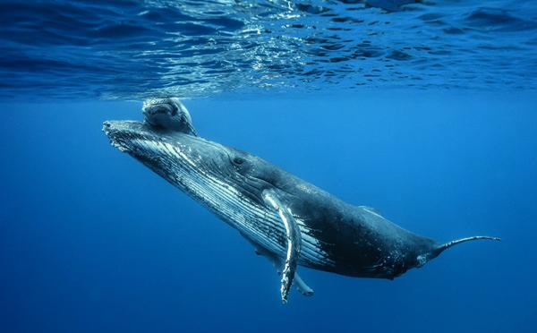 La saison des baleines est lancée à La Réunion !