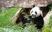 Uniques de leur espèce en France : Huan Huan et Yuan Zi, Monsieur et Madame Panda, se sont installés à Beauval dans le cadre d'un ambitieux projet de reproduction en coopération avec la base de Chengdu en Chine. Le panda est l'emblème le plus fameux de la protection de la faune. Il est déclaré en Chine « trésor national » classé sur la liste des espèces menacées - Photo ZP Beauval