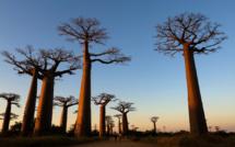 La Grande Ile et ses baobabs géants /crédit DepositPhoto