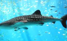 Requin-Baleine Georgia aquarium / Crédit photo commons.wikimedia.org