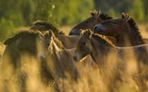 Troupeau de chevaux de Przewalski dans la zone d'exclusion de Tchernobyl. Septembre 2016. Luke Massey (www.lmasseyimages.com), Author provided